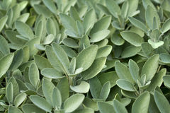 Sage in vegetable garden Royalty Free Stock Images