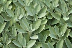 Sage in vegetable garden. Spice plant: sage in vegetable garden Royalty Free Stock Images