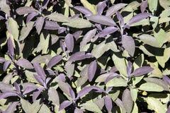 Sage (Salvia officinalis) Stock Images