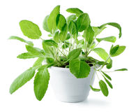 Sage & x28;Salvia officinalis& x29; isolated on white  background Stock Photography