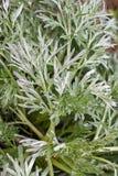 Sagebrush Стоковые Изображения RF