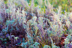 Sagebrush. Attracts with its beauty and fragrance Stock Photography