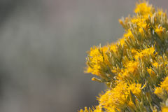 Rabbitbrush in Bloom Royalty Free Stock Photos