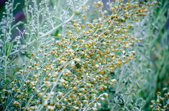 Sagebrush flowers. Aromatic herbs - yellow sagebrush flowers Royalty Free Stock Image