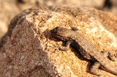 Sagebrush Lizard Royalty Free Stock Image