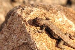 Sagebrush Lizard royalty free stock image