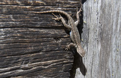 Sagebrush lizard clings upside down Stock Photography
