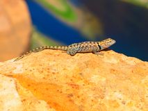 Sagebrush lizard on the rock Stock Photos