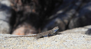 Sagebrush Lizard (Sceloporus graciosus) Royalty Free Stock Photos