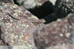 Sagebrush Lizard (Sceloporus graciosus) Stock Image