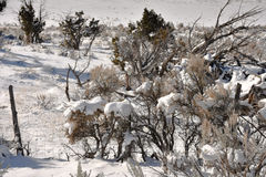 Sagebrush In Snow. Winter Scene Royalty Free Stock Image