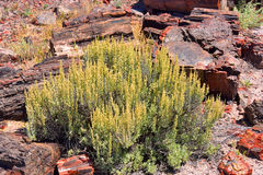 Sagebrush surrounded by petrified logs. Landscape in Petrified Forest National Park, Arizona showing desert sagebrush growing amidst petrified logs royalty free stock photography