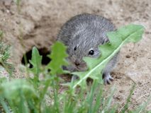 Sagebrush Vole Behind a Plant. A Sagebrush Vole hiding behind a Dandelion leaf Stock Photography