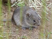 Sagebrush Vole in the Open. A tiny Sagebrush Vole in the desert Stock Photos