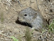 Sagebrush Vole in Burrow. A Sagebrush Vole peaking out of its burrow Stock Image
