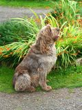Saggy Dog Sit to Attention. The Spinone is a versatile hunting dog of ancient heritage with origins in northern Italy Royalty Free Stock Photos
