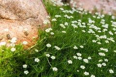 Sagina (Irish moss). Sagina Apetala plant with stone as background Stock Image