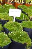 Sagina Subulata som blommar växter i till salu krukor Irländsk mossa royaltyfria foton
