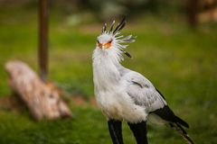 Sagittarius serpentarius, known as the Secretary Bird. Sagittarius serpentarius known as the Secretary Bird Stock Image