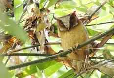 Sagittatus dal petto bianco di Scops Owl Otus Immagini Stock