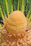 Sago Crown. The crown or cycas of a sago palm tree Stock Photos