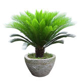 Sago cycad tree Stock Photo