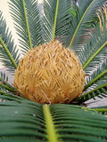 Sago cycas. Spring Park Blooming sago cycas stock photos