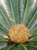 Sago cycas. Spring Park Blooming sago cycas stock photo
