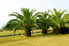 Sago cycas Royalty Free Stock Photography