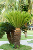 Sago cycas. The close-up of sago cycas. Scientific name:Cycas revoluta stock photo