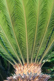 Sago cycas. The close-up of sago cycas. Scientific name:Cycas revoluta royalty free stock photos