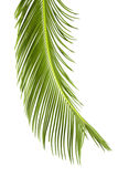 Sago cycas leaf. Isolated on white Stock Images