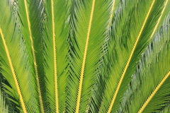 Sago Leaves. Upright sago palm tree leaves stock images