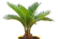 Sago palm Stock Photography