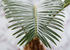 Sago-palm Stock Images