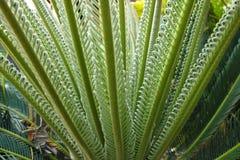 Sago palm Stock Image