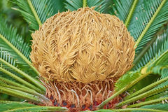 Sago Palm Cone Royalty Free Stock Photo