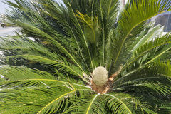 Sago palm or Cycas revoluta. Royalty Free Stock Photography