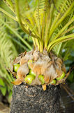 Sago palm (Cycas revoluta) Stock Photo