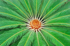 Sago Palm (Cycas revoluta). Green background. Sago Palm. Cycas revoluta specimen with female cone and the leaves that resembles the feathers and are royalty free stock image