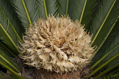 Sago Palm Stock Images