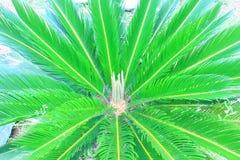 Sago Palm Stock Photos
