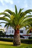 Sago Palm Royalty Free Stock Images