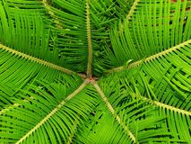 Sago Palm Leaves Royalty Free Stock Image