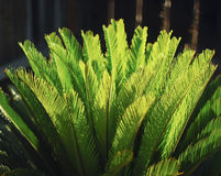 Sago palm leaves. Royalty Free Stock Photo