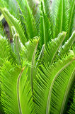 Sago palm leaves. Royalty Free Stock Photography