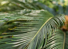 Sago palm leaves. Stock Images