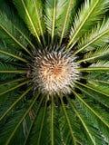 Sago palm Royalty Free Stock Photo