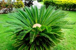 Sago Palm Tree In Rajasthan, India stock photography