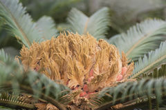 Sago palm. Young leafs and buds of cycad Stock Image